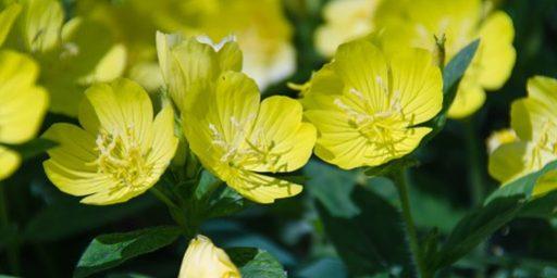 Le Piante Medicinali : Conoscere le piante medicinali l enothera benessere